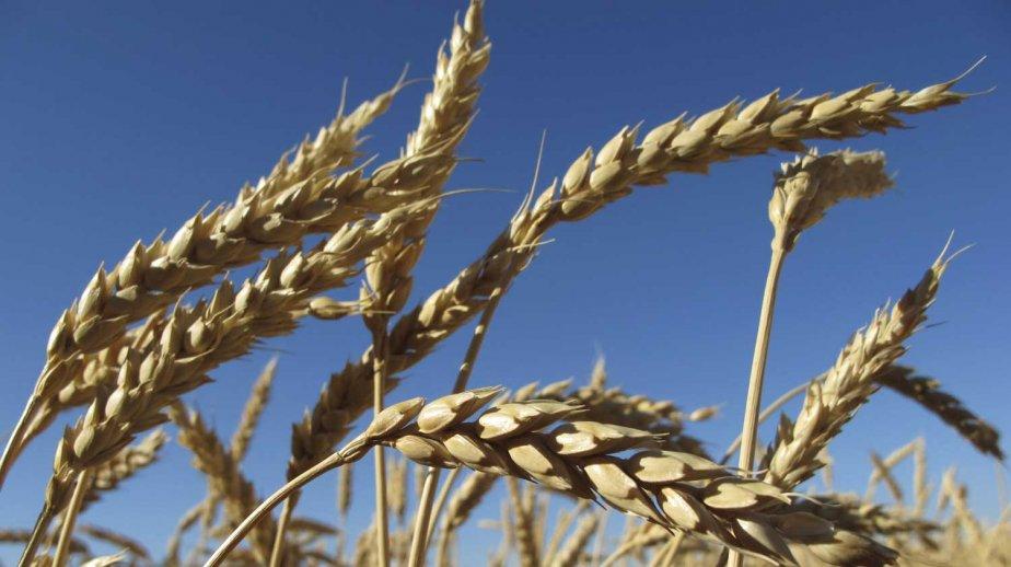 Un champ de blé.... (Photo Reuters)