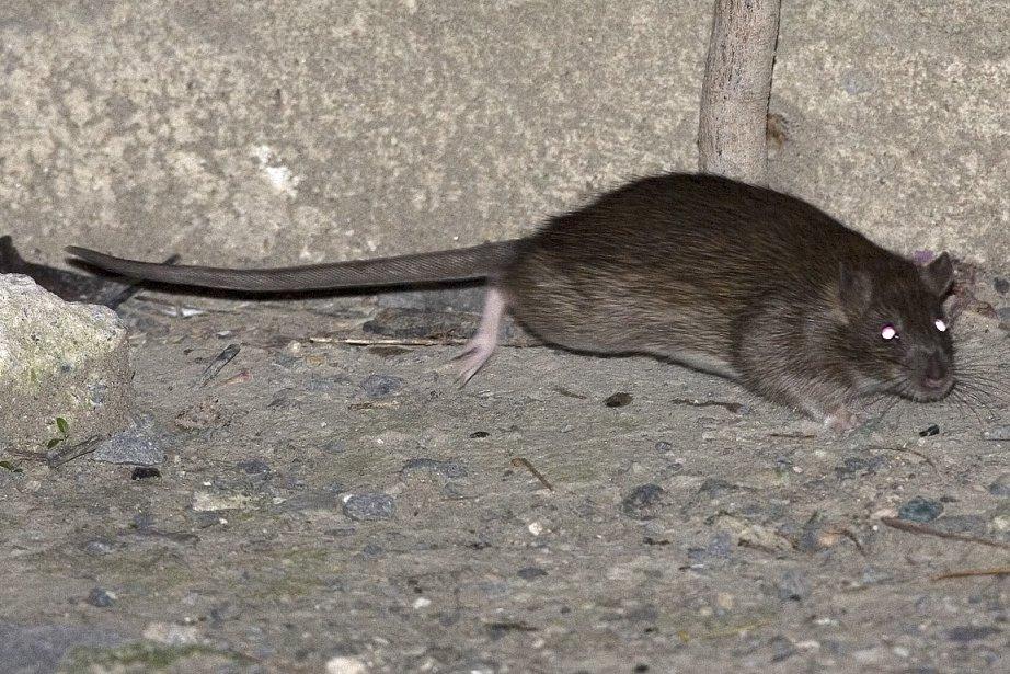 Aussi appelé rat brun, surmulot ou rat norvégien,... (Photo: André Pichette, archives La Presse)
