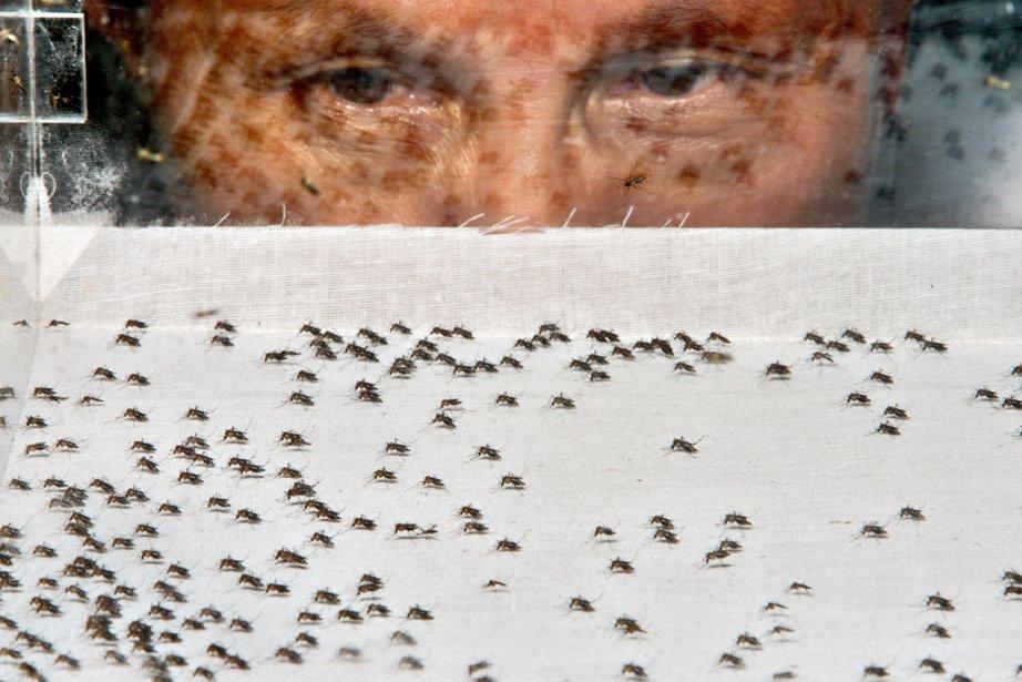 Un chercheur observent des moustiques Aedes aegypti qui... (Photo: Archives Bloomberg)