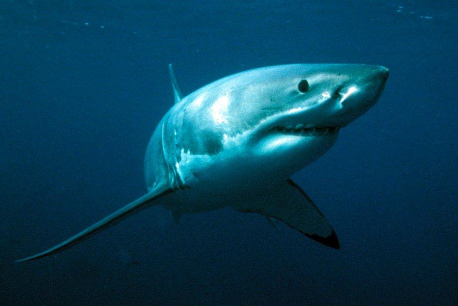 Un tiers des espèces de requins sont menacées,... (Photo: Archives Reuters)