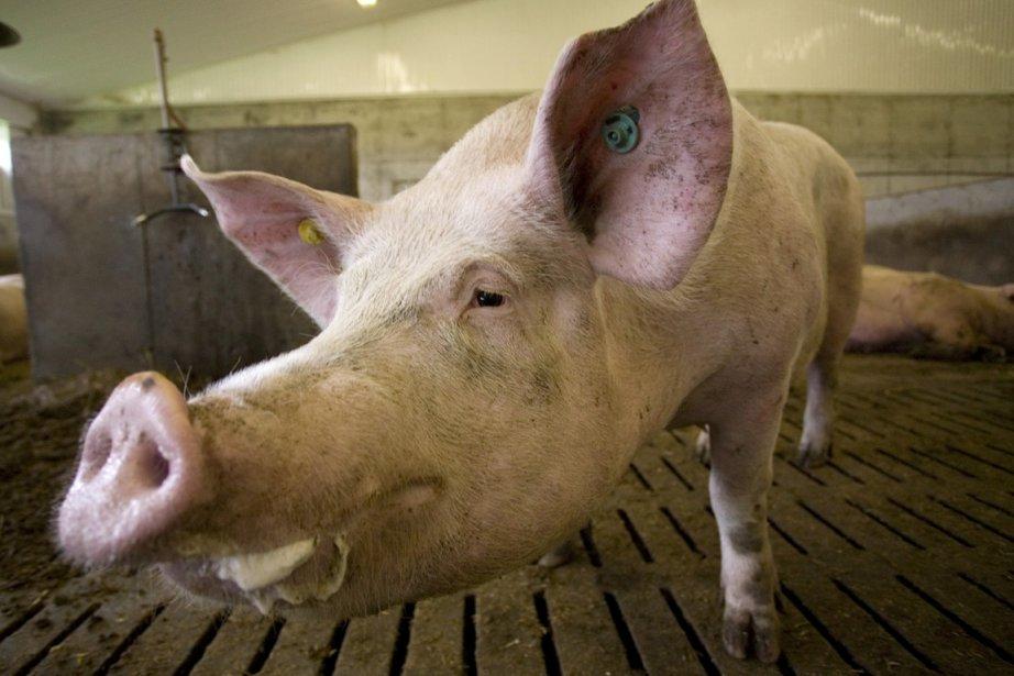 Une statue de porc grandeur nature... (Photo: David Boily, archives La Presse)