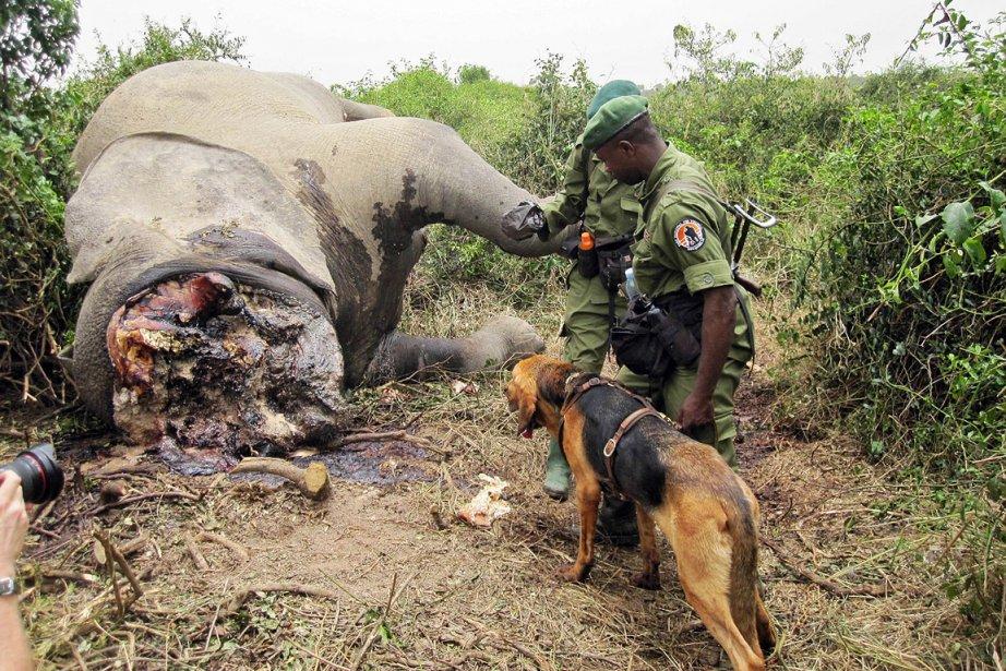 Un ranger du parc national Virunga a découvert... (Photo: Virunga National Park, AFP)