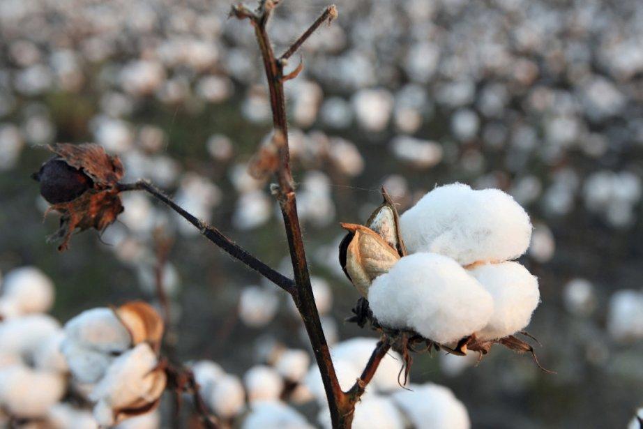 Un champ de coton.... (Photo Photos.com)