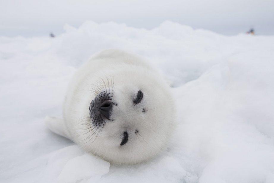 «J'aime les bébés phoques blancs, ils sont tellement mignons», lance, les yeux...