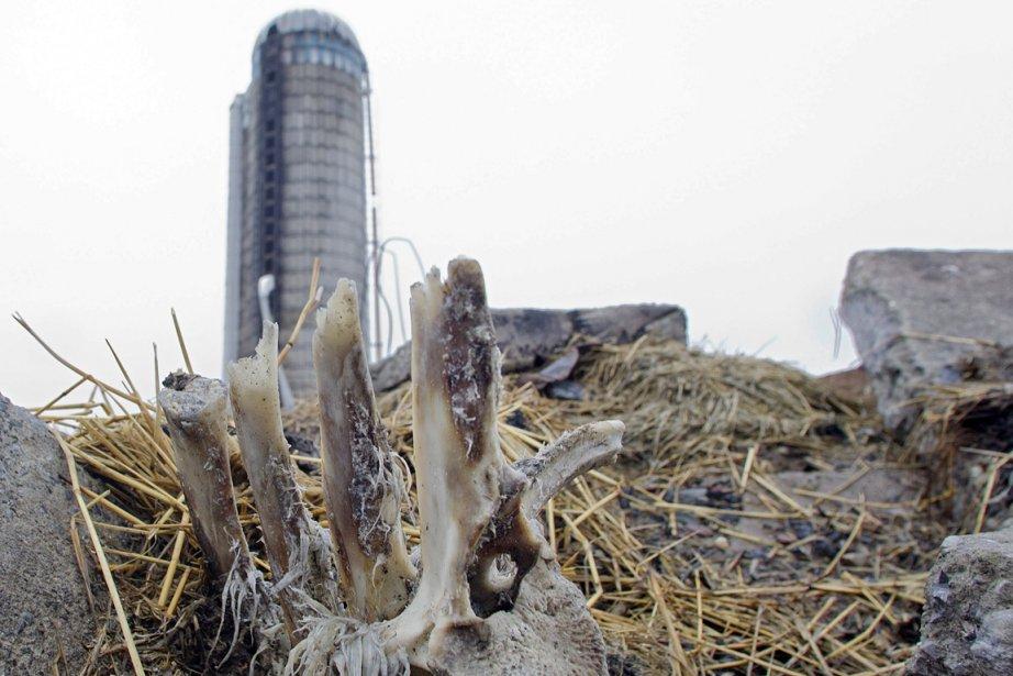 Des ossements calcinés de vaches Holstein sont encore...