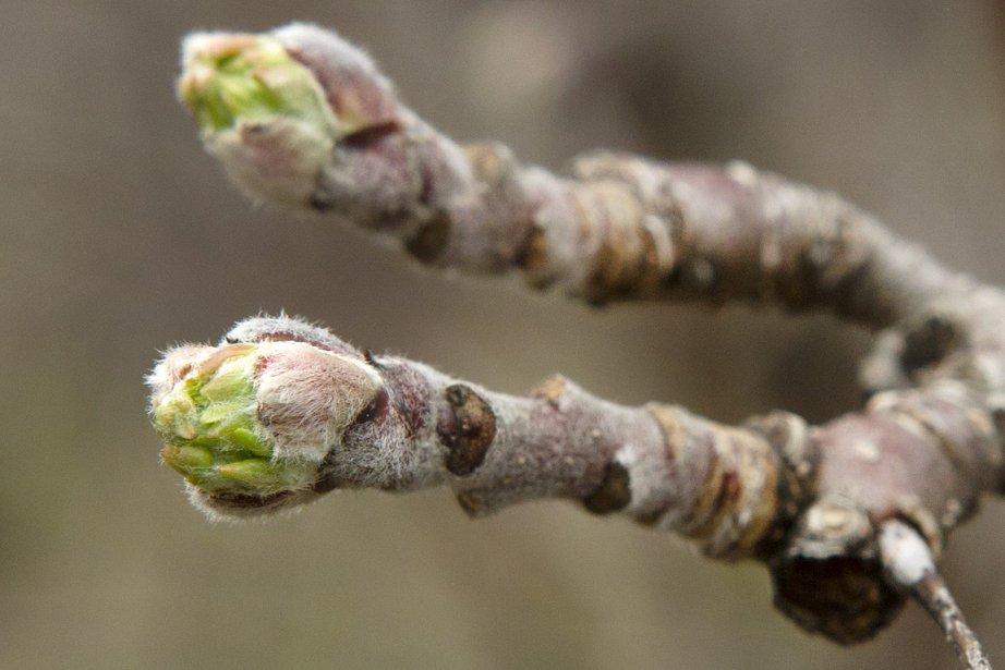 Des bourgeons de pommiers laissent voir leurs premières... (Photo: Ninon Pednault, La Presse)