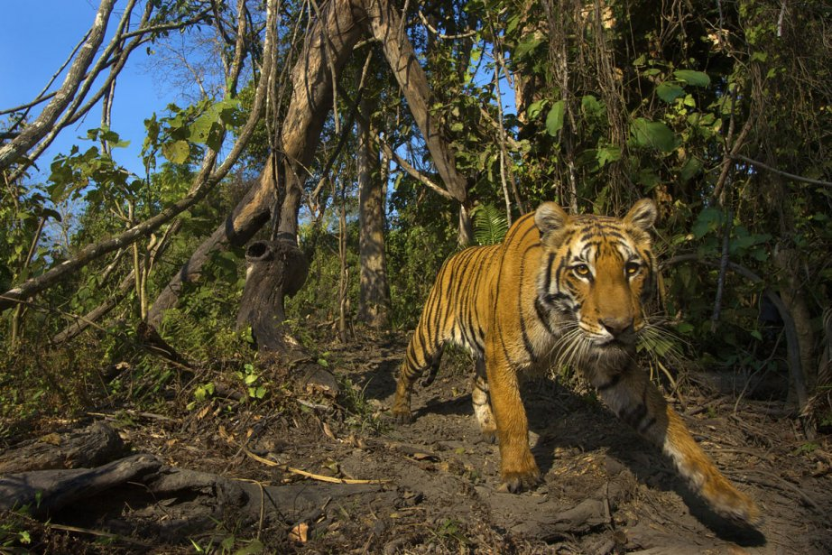Expédition tigre, Explora à 18h (Photo fournie par Explora)