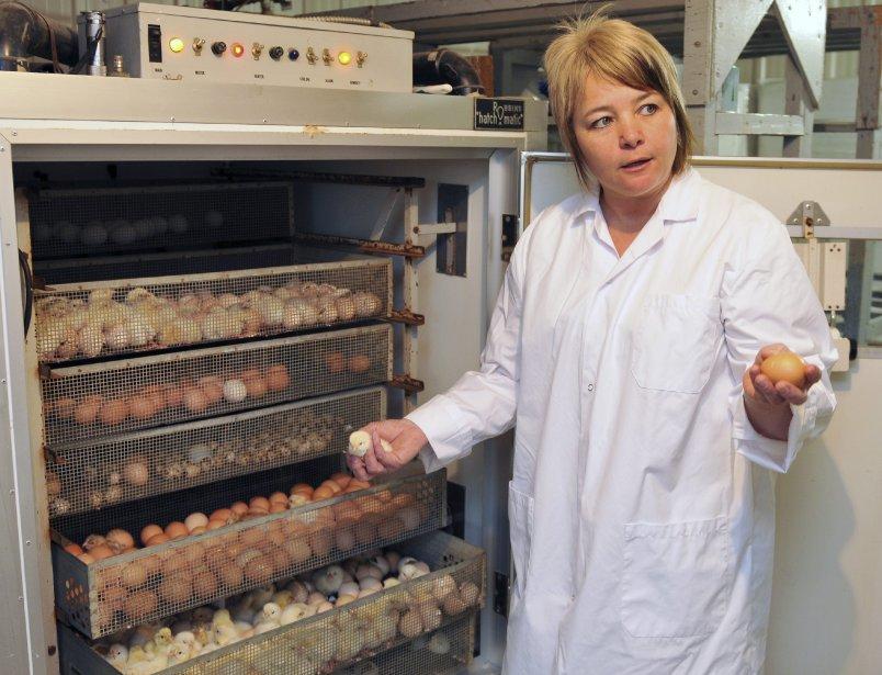 De la mi-mars à la mi-juillet, le Couvoir de Chicoutimi vend près de 4000 oiseaux d?élevage, explique la propriétaire du Couvoir de Chicoutimi, Josée Lavoie. La période la plus achalandée demeure les semaines précédant Pâques. | 6 avril 2012