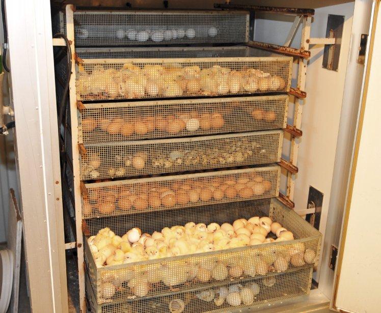 Les poussins naissent par dizaines dans un écloisoir. Les boules de plumes jaunes s?entassent en piaillant dans ces bacs, y sèchent leurs plumes et s?y reposent quelques heures. | 6 avril 2012