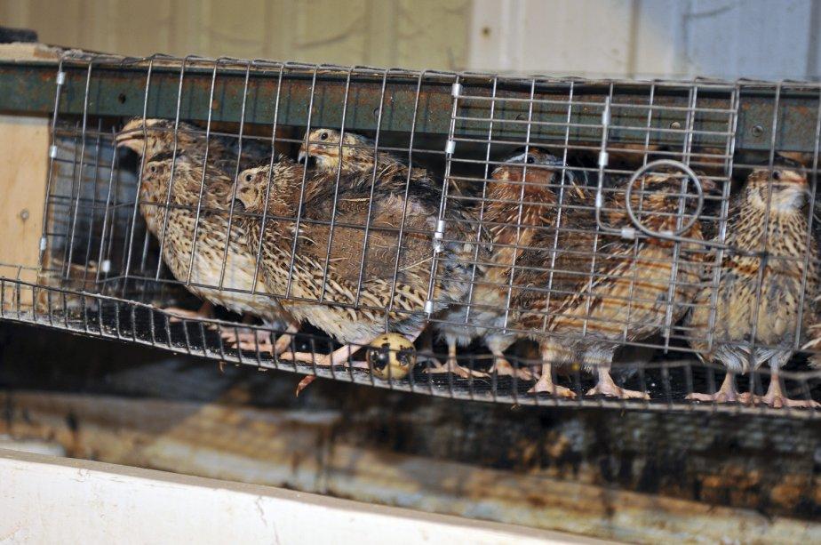 Les cailles sont aussi appréciées par les acheteurs. | 6 avril 2012