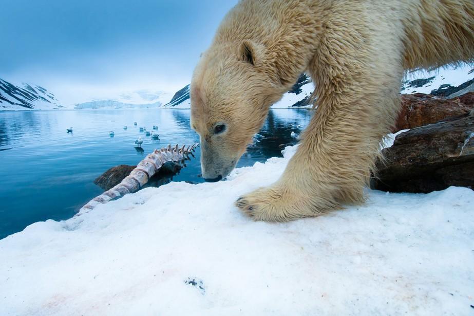 Parmi ces animaux figurent l'ours polaire, avec une... (Photo: Reuters)