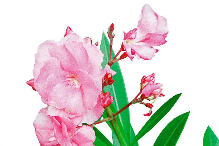 Les feuilles du laurier-rose peuvent causer la mort... (Photo archives La Presse)