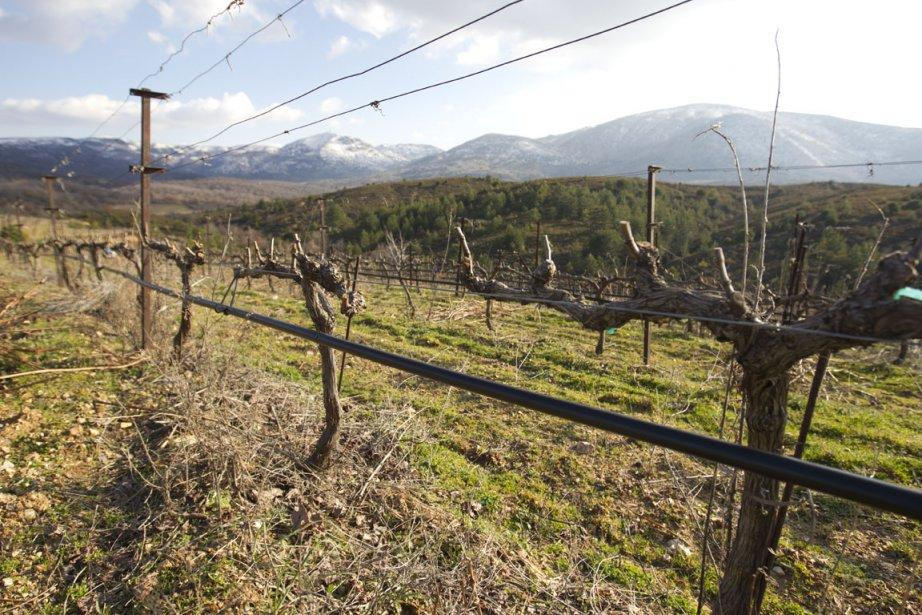 Le vignoble de Yiannis Tselepos fait 50 hectares au total. (Photo François Roy, La Presse)