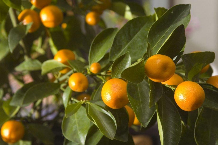 Avec sa floraison et sa production de fruits... (Photo: Armand Trottier, Archives La Presse)