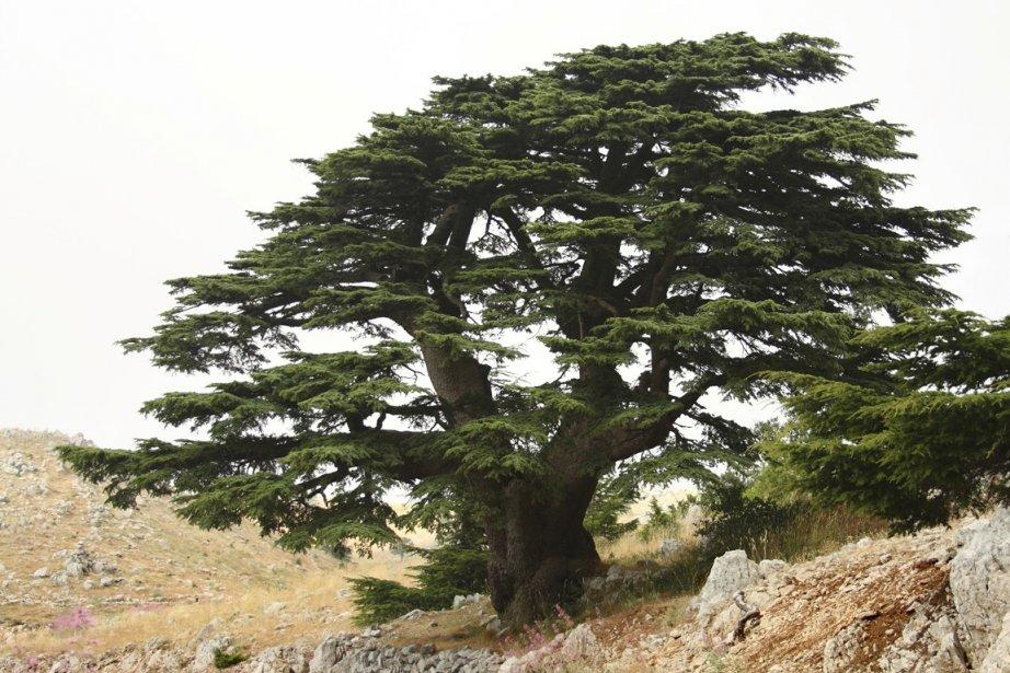 Tourisme vert au pied de c dres mill naires thomas abgrall collaboration sp ciale liban - Cedre bleu du liban ...