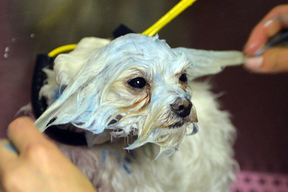 Au Downtown Doghouse Spa de Manhattan, Hops, un... (Photo: AFP)