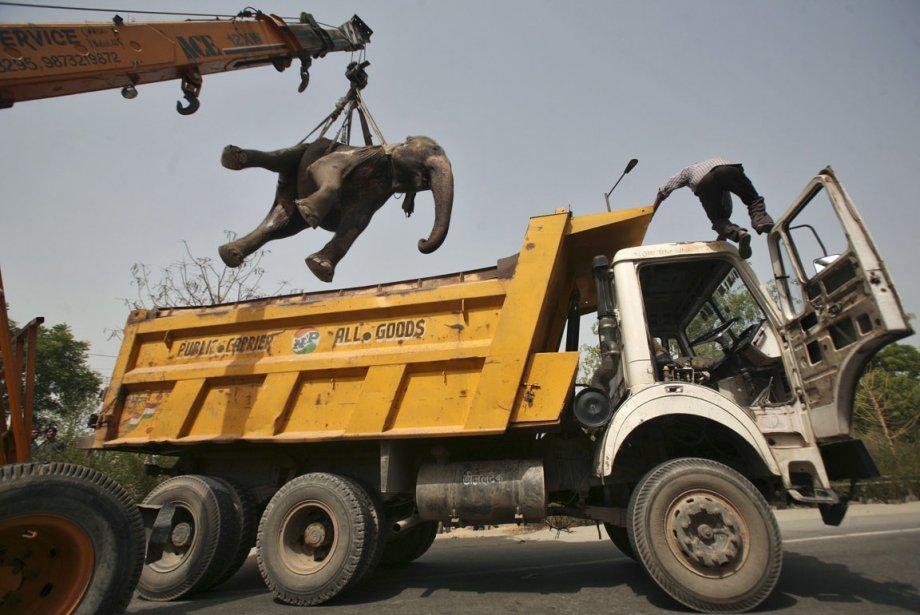Une grue dépose la carcasse d'un éléphant dans un camion en banlieue de New Delhi en Inde. | 29 juin 2012