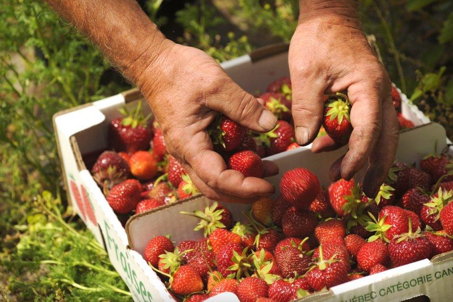 Des fraises de la ferme biologique Richard Roger... (Photo Bernard Brault, La Presse)