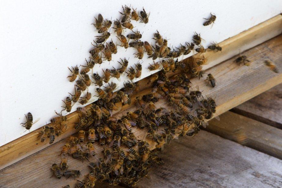 Les abeilles peuvent célébrer: des... (Photo: Robert Skinner, archives La Presse)