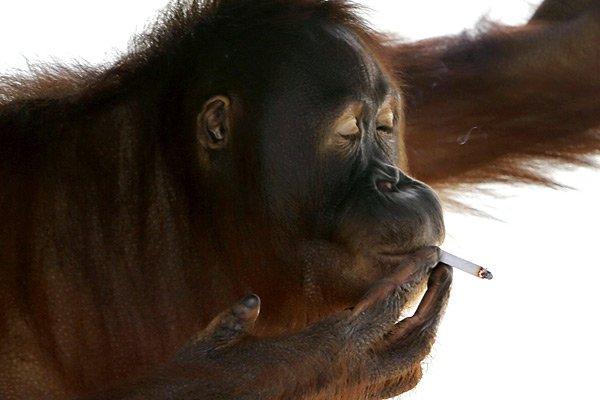 Tori, un orang-outan fumeur forcé d'arrêter.... (Photo: AP)