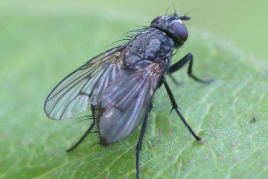 Selon une étude, les mouches en train de... (Photo Kallerna)