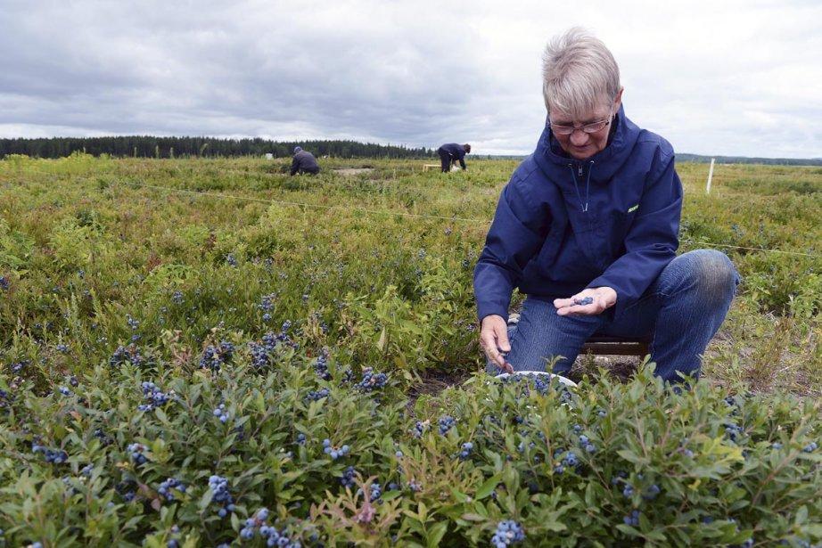 Plusieurs des cueilleurs de bleuets employés par la... (Photo Jeannot Lévesque, Le Quotidien)