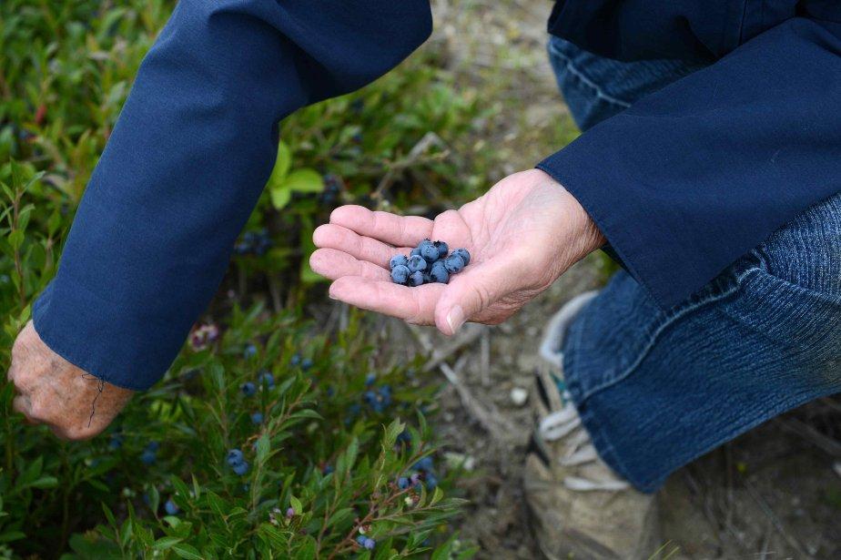 Les producteurs de bleuets vont recevoir 60 cents... (Archives le Quotidien)