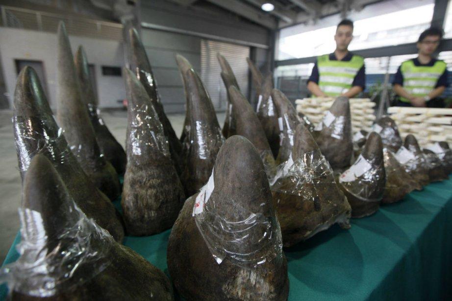 Des cornes de rhinocéros saisies aux douanes de... (Photo Kin Cheung, archives AP)