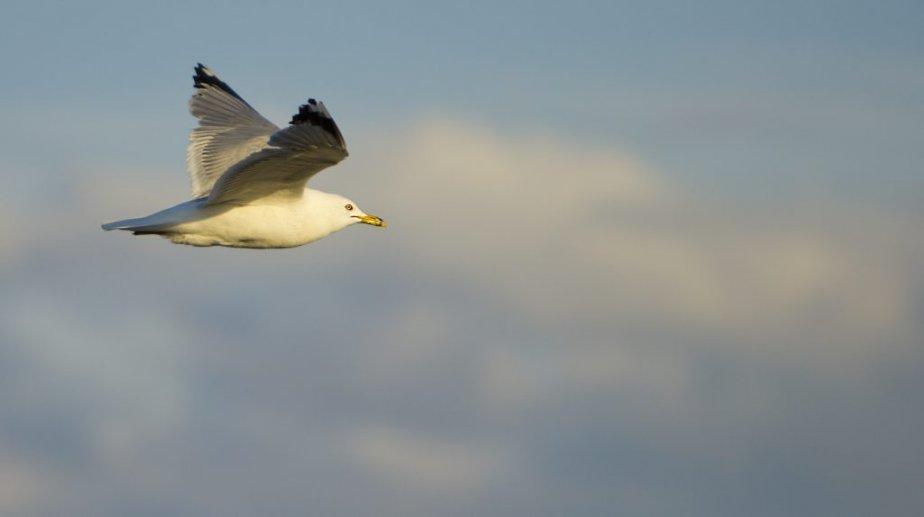 Goéland en vol à Longue-Pointe-de-Mingan. | 6 août 2012