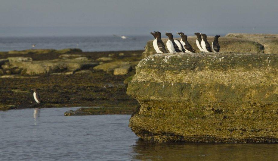 Petits pingouins de l'Île nue. | 6 août 2012