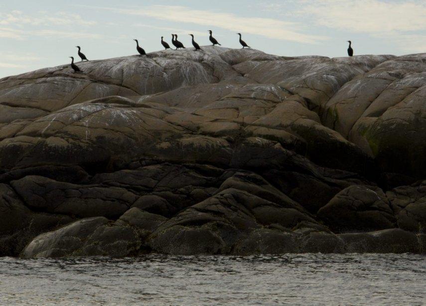 Cormorans sur l'une des sept îles de Sept-Îles. | 6 août 2012