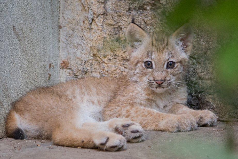 Pour la première fois au Biodôme, un petit lynx est né. Sa naissance qui est...