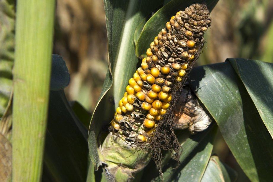 Pour l'instant, la récolte de maïs s'annonce 13%... (PHOTO SAUL LOEB, AGENCE FRANCE-PRESSE)