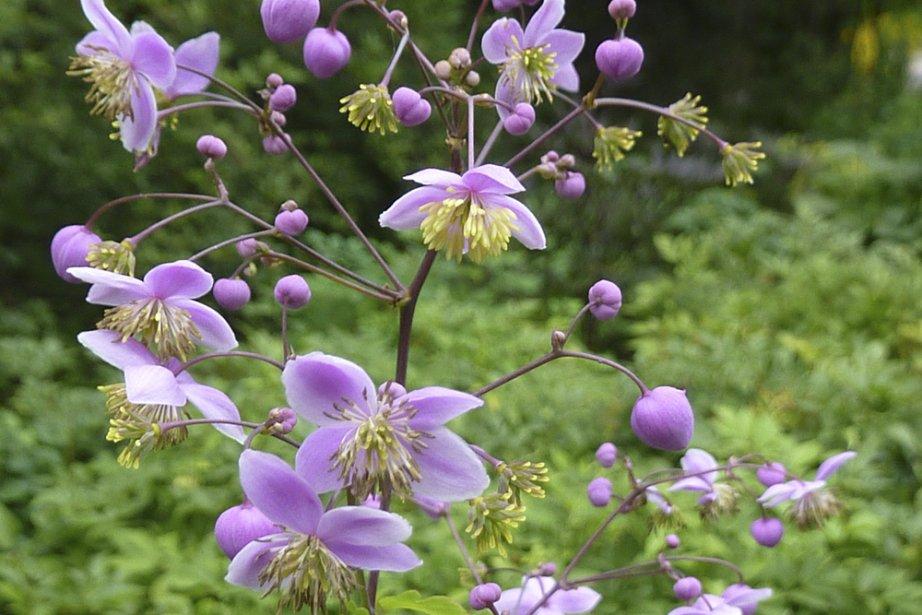 Le pigamon de Rochebrune produit de nombreuses fleurs... (Photo: Pierre Gingras, La Presse)