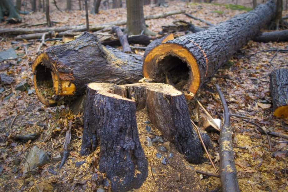 Un groupe écologiste menace d'abattre des arbres sur... (PHOTO ANDRÉ PICHETTE, ARCHIVES LA PRESSE)
