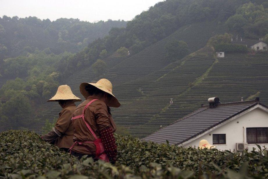 Récolte du thé Long Jing dans la province... (Photo: Valérie Simard, La Presse)
