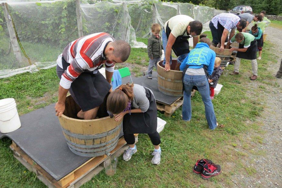 Foulage de raisins au Domaine Les Brome.... (Photo Étienne Fortin-Gauthier, La Voix de l'Est)