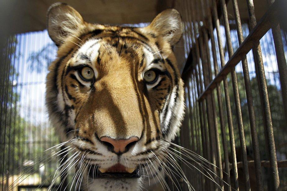 Sur la photo, un tigre en cage, photographié... (Photo: AP)