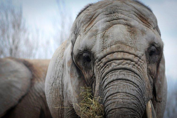 Le transfert de trois éléphants âgés du Zoo de Toronto à un... (Photo: PC)