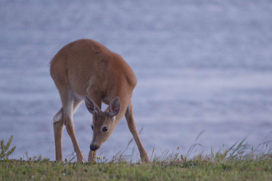 Un cerf de Virginie.... (Photo: Ivanoh Demers, La Presse)