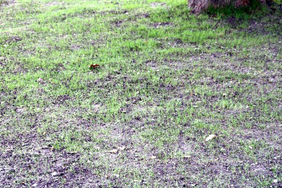 ravigotez votre pelouse apr s un dur t larry hodgson collaboration sp ciale horticulture. Black Bedroom Furniture Sets. Home Design Ideas