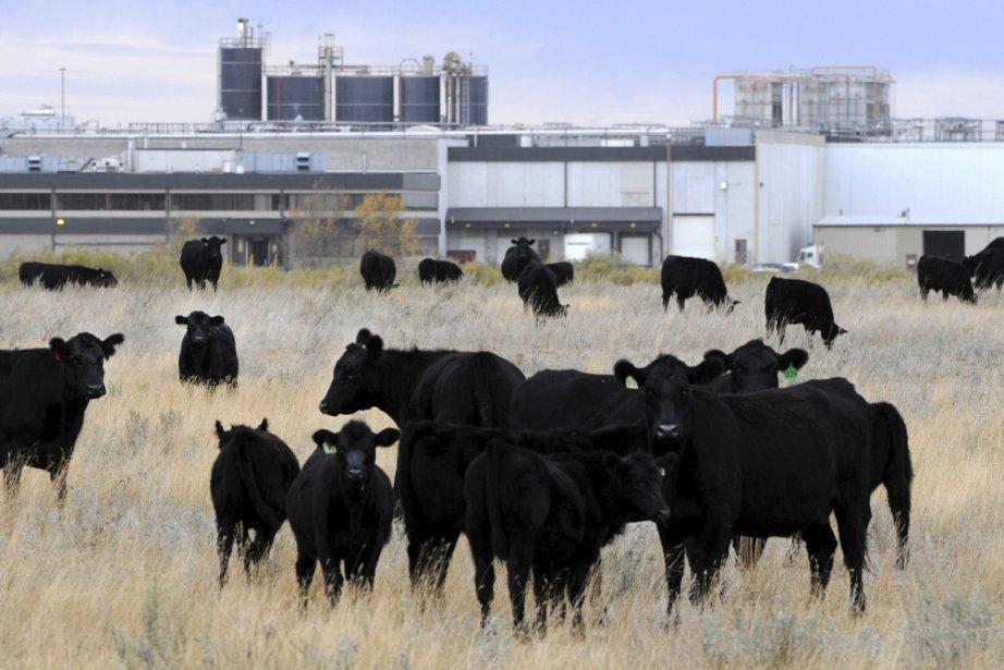 Des boeufs à proximité des installations deXL Foods,... (Photo La Presse Canadienne)