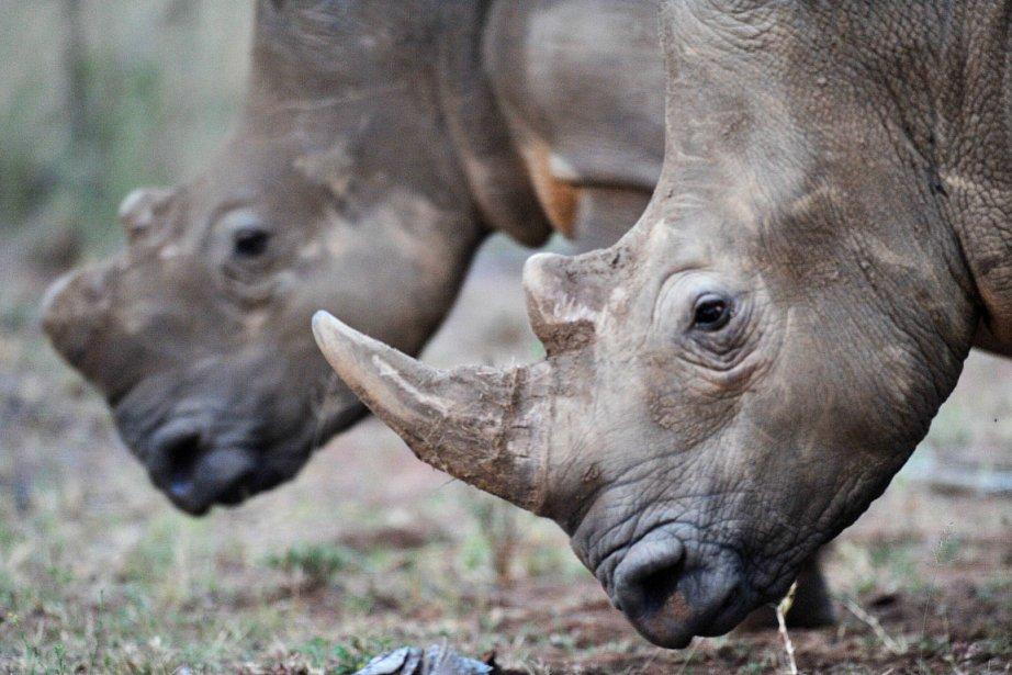 Avec environ 20000 spécimens, l'Afrique du Sud abrite... (PHOTO ALEXANDER JOE, AFP)
