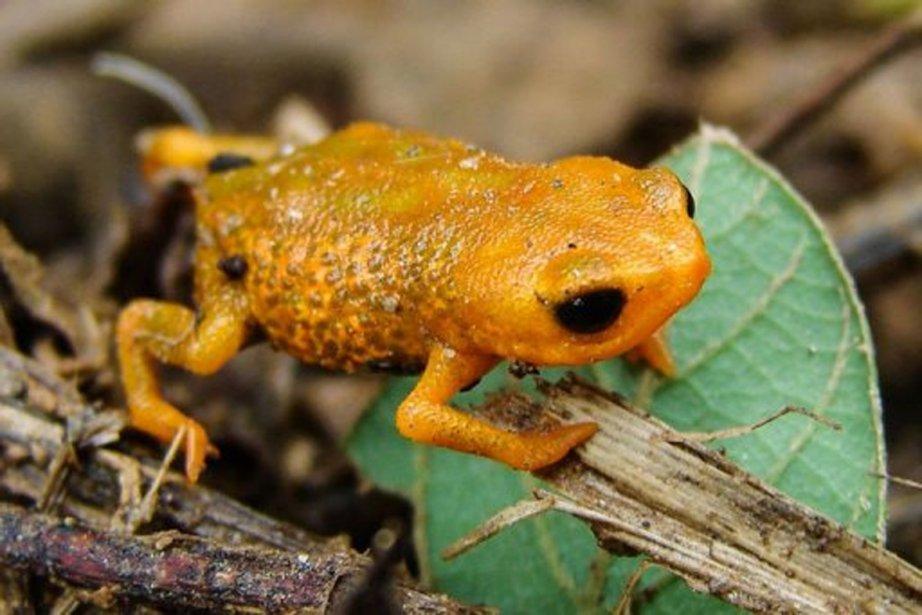 Photo non datée de la nouvelle espèce de... (Photo AFP)