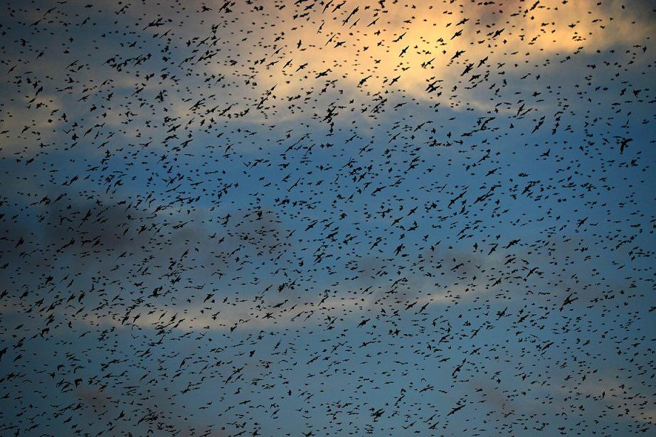 Art abstrait? Non, des milliers d'oiseaux migrateurs filent vers le sud dans le ciel de Rome. | 19 novembre 2012