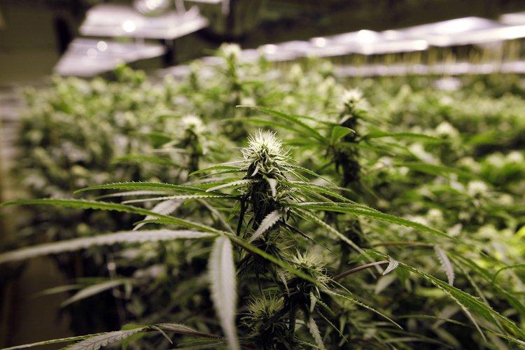 Photo générique de plants de marijuana.... (PHOTO ARCHIVES ASSOCIATED PRESS)