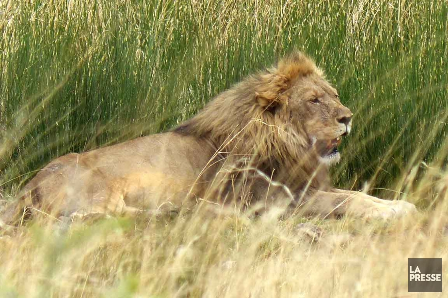 Le lion, un mâle âgé de 5 ans,... (Photo archives La Presse)
