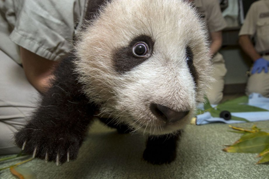 Xiao Liwu, un ourson Panda de 18 mois pose pour les photographes au Zoo de San Diego. | 7 décembre 2012