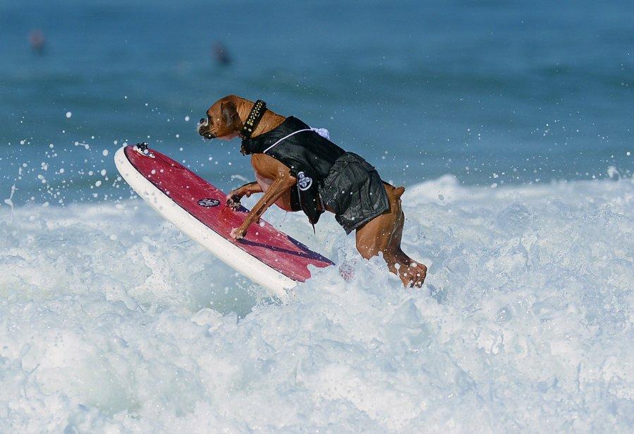 Il n'est pas blond et n'affiche pas des pectoraux blindés. Mais Hanzo, un chien boxer âgé de 4 ans, a assurément l'attitude du parfait surfeur californien. Et il n'est pas le seul. Hanzo a participé, en septembre, à la compétition de surf canin de Huntington Beach, en Californie, qui rassemble les meilleurs athlètes canins du genre. Hanzo n'était âgé que de 10 semaines lorsqu'il a commencé à faire du rouli-roulant... | 18 décembre 2012