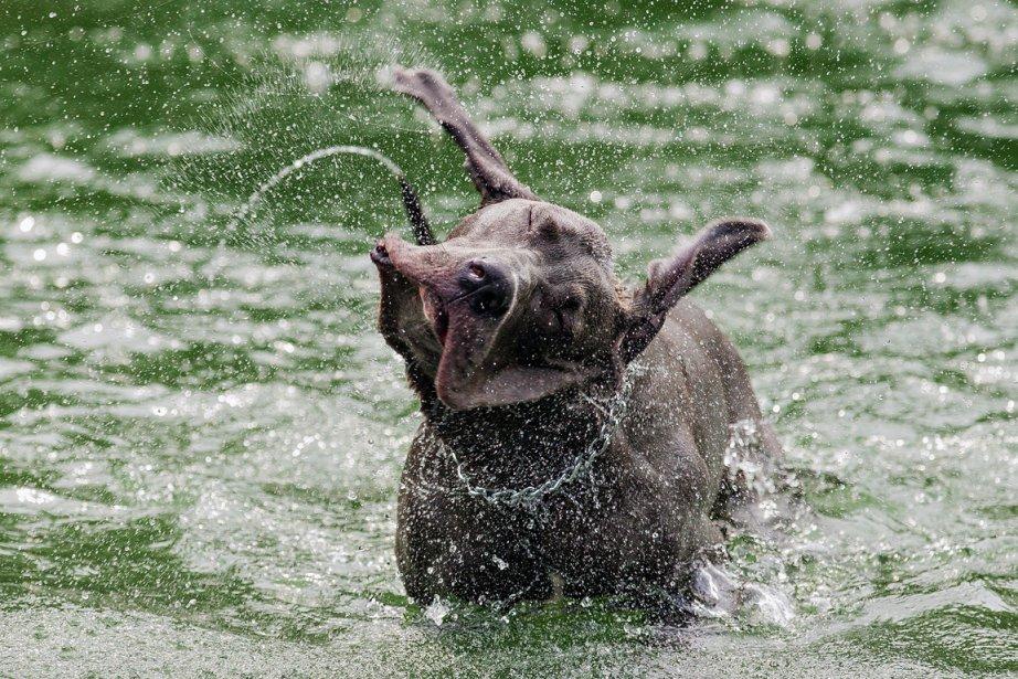 L'illustration de la canicule est un classique des nouvelles estivales. Ici, le photographe Edouard Plante-Fréchette s'est douté qu'il tenait la photo du jour quand il a vu Eiffel se jeter dans le bassin du parc La Fontaine à Montréal. «Je me suis installé et j'ai simplement attendu qu'il se secoue...» | 18 décembre 2012